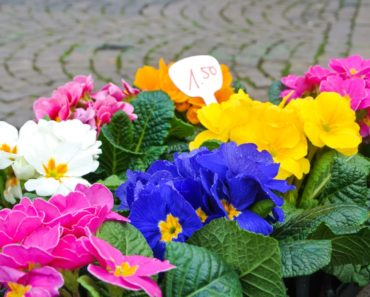 The 10 Best Types of Primrose Flowers For Your Garden
