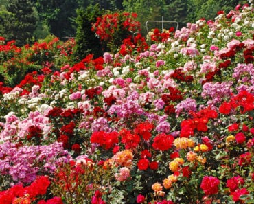 10 Types of Roses That are Perfect For Your Landscaping