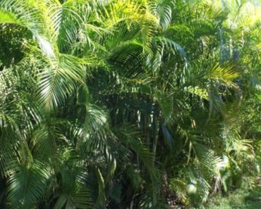 How to Grow and Take Care of an Areca Palm