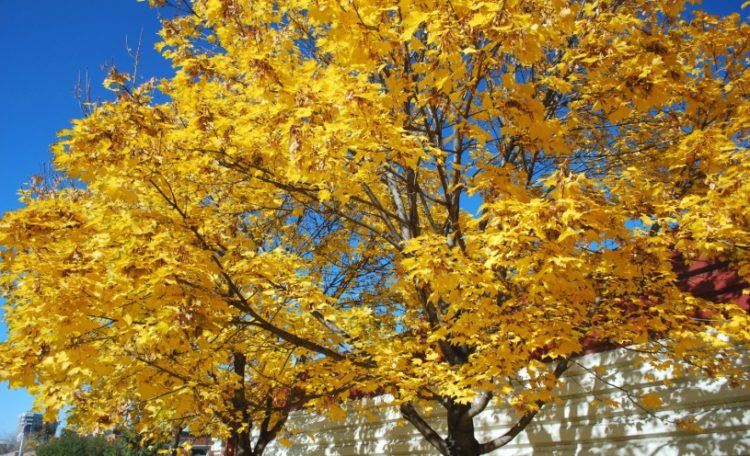Five Different Types Of Maple Trees Ideal For The Home