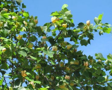 How to Grow Your Own Tulip Tree