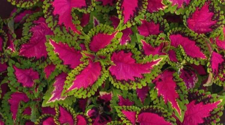 Here S How To Grow Your Own Coleus Plants