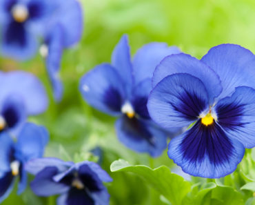 How To Grow And Take Care Of Your Pansies
