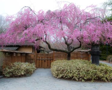 Everything You Wanted to Know about the Weeping Cherry Tree
