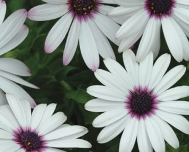 How To Grow And Take Care Of African Daisies