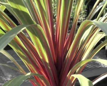 How to Grow and Care for Your Cordyline Plant