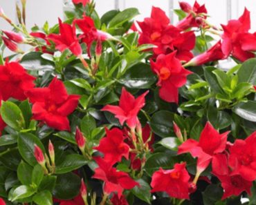 How to Grow and Take Care of Your Dipladenia