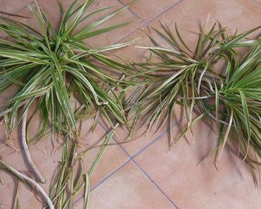 How To Grow And Take Care Of Your Dracaena Marginata