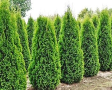 How to Grow and Care for Your Emerald Green Arborvitae