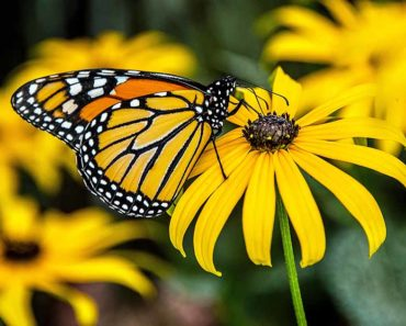 Growing And Taking Care Of Your Black Eyed Susans (Rudbeckia)