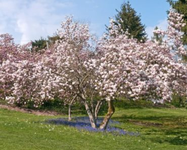 Here's Every Type of Magnolia Tree That's Out There