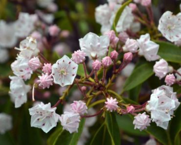 How To Grow Your Own Mountain Laurel Plant