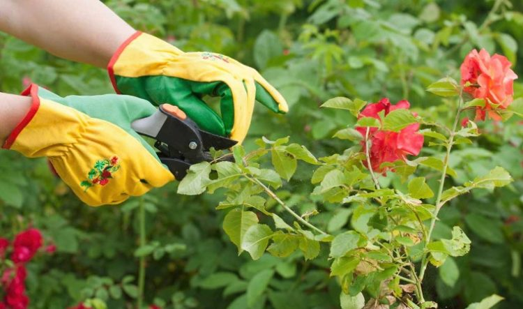 Your Official Guide On How To Prune Roses