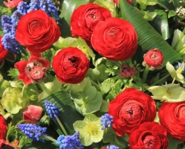 How to Grow and Take Care of Ranunculus Flowers