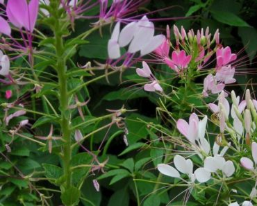 How to Grow and Take Care of Spider Flowers (Cleome)