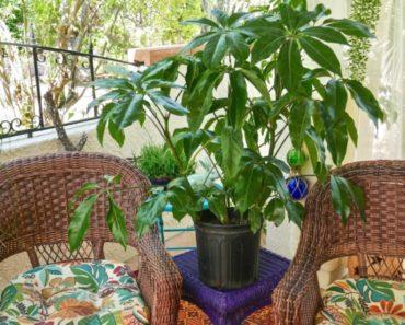 How to Grow Your Own Schefflera Plants