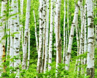 10 Types Of Birch Trees Ideal For Your Home