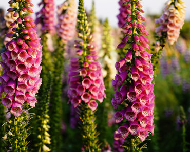 How To Grow And Care For A Foxglove Plant