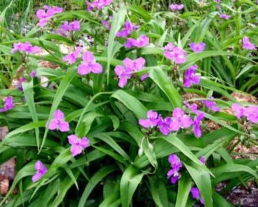 How to Grow and Take Care of Spiderwort Plants