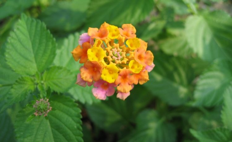 Everything You Need To Know About The Lantana Plant