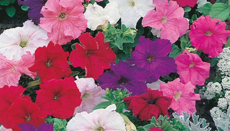 Everything You Need To Know About The Petunia