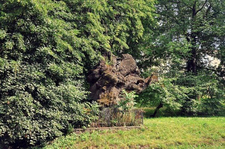 Buchach Golden Linden Tree