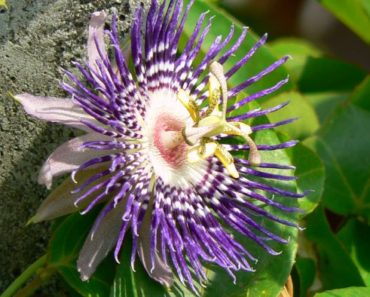 How to Grow and Take Care of a Purple Passion Plant
