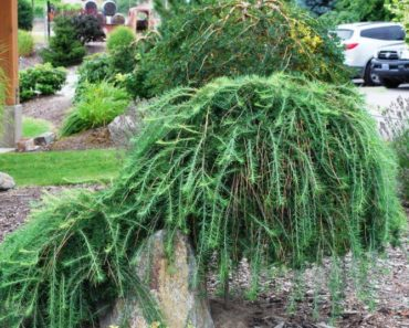 How to Take Care of a Weeping Larch