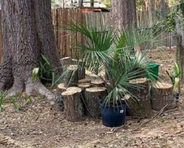 How to Take Care of a Pindo Palm