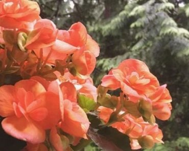 How To Take Care of a Rieger Begonia