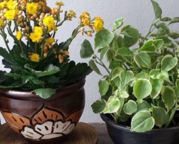 How to Take Care of a Calandiva Plant