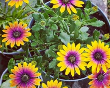 How to Grow Your Own Purple Sunflower