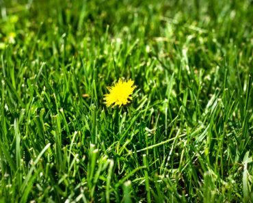 What are The Various Types of Broadleaf Grass?