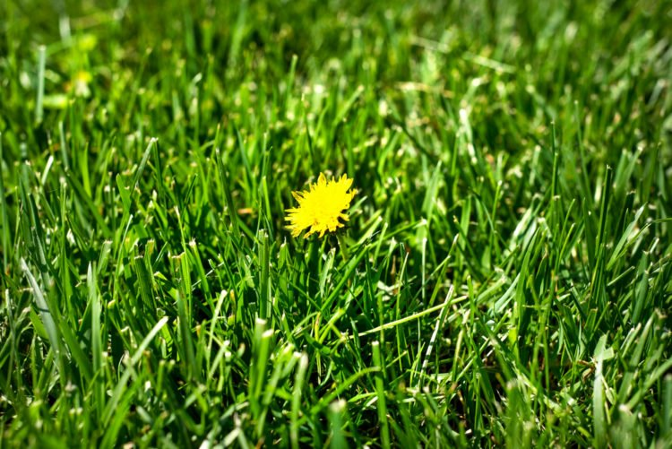Broadleaf Grass