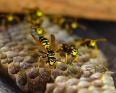 How to Identify a Queen Wasp