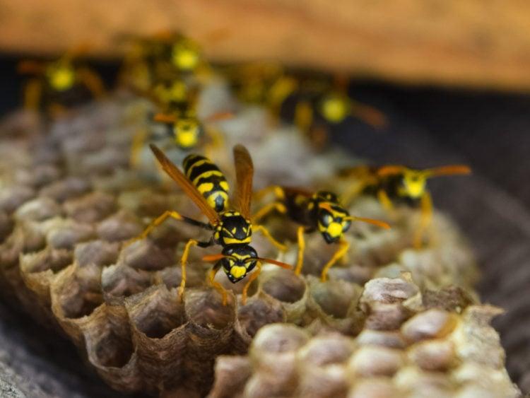 Queen Wasps